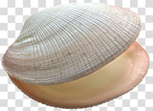 coquillage blanc, coquillage png