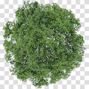 Arbre arbuste à l'aneth, vue de dessus, arbre à feuilles vertes png