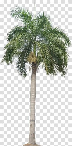 palmier vert pendant la journée, Panama Roystonea regia Arecaceae Trachycarpus fortunei Palmier dattier, plante palmier Plante tropicale s png