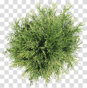 Arbre, arbuste, vue de dessus d'arbre, plante à feuilles vertes png