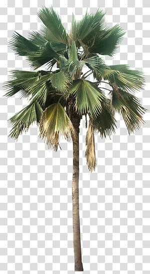 palmier, Washingtonia robusta Washingtonia filifera Pritchardia pacifica Arecaceae, palmier Grandes plantes du désert à la recherche png