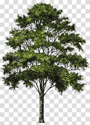 illustration d'arbre feuille verte, arbre, arbre png