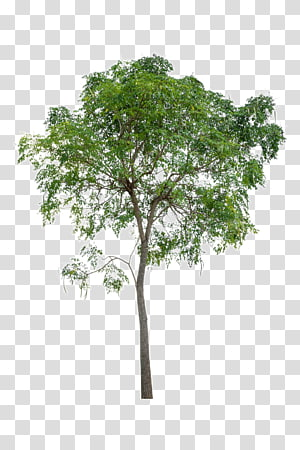 arbre vert, icône de l'arbre, arbres luxuriants png