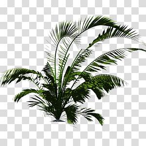 palmier majestueux vert, Plante Arecaceae Végétation tropicale Tropiques, végétation png