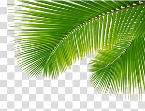 Arecaceae Leaf Branche de palmier, Palm Leaf, Feuilles, Feuilles vertes png