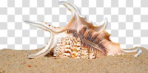 Coquillage blanc et marron, Seashell Shell Beach Coquille de mollusques de sable, Shell Beach png