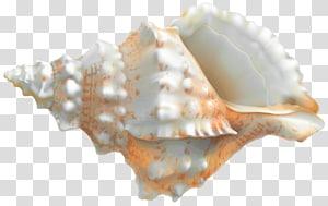 conque blanche et orange, buccin de rapa veiné coquillage, Rapana png