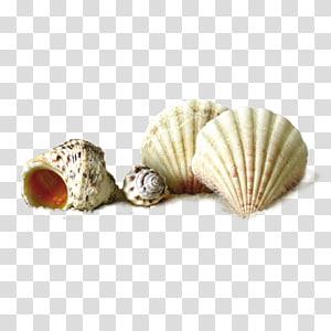 quatre coquillages blancs, Complément alimentaire Peinture Seashell Beach, Shell png