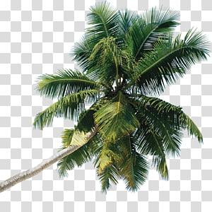 cocotier vert, arbre Arecaceae, palmier png