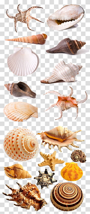 coquilles assorties, fruits de mer coquillage, coquille png