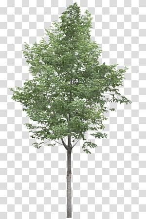 illustration d'arbre vert, arbre Acer campestre, arbres png