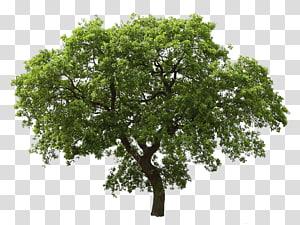 arbre à feuilles vertes, chêne arbre, arbre png