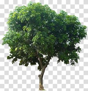 Mangifera indica Arbre fruitier, arbre des arbres à feuilles vertes png