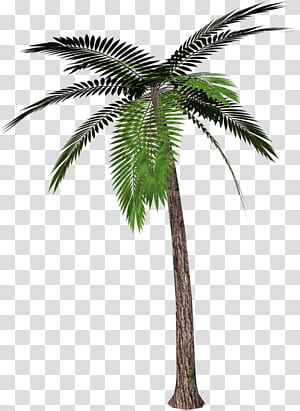 Palmiers, palmier, palmier vert png