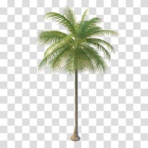 cocotier, Arecaceae Arbre à eau de coco Nata de coco, cocotier png
