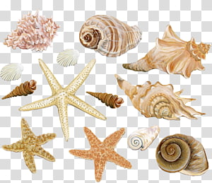 Illustration de coquillages beiges, coquille de mollusque coquillage Conque peinture aquarelle, coquillage png