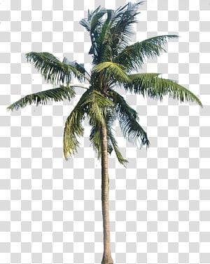 cocotier vert, sycomore américain, noix de coco, arécacées, cocotier png