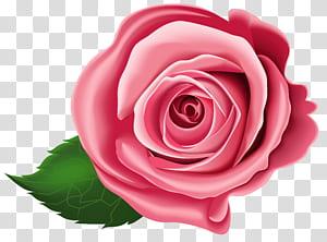 , Rose, illustration rose rouge png