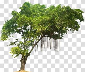 illustration d'arbre à feuilles vertes, forêt tropicale humide, arbre de la jungle png