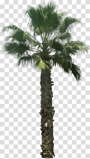 Palmier palmier asiatique Arecaceae Washingtonia filifera Tree Attalea speciosa, arbre png