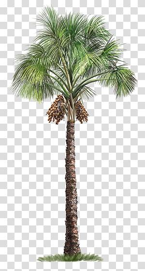 Mauritia flexuosa Arecaceae Arbre, Palmier, Palmier vert png
