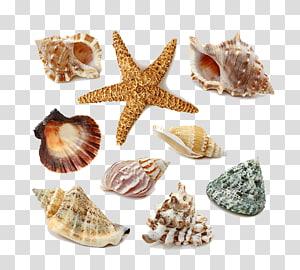illustration de coquillages gris et beige, coquillage, coquillages et étoiles de mer png