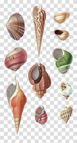Coquille de mollusque de conque de coquillage Dessin, conque peinte à la main png