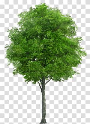 wallart graphique d'arbre à feuilles vertes, arbre Neem Swietenia Chinaberry, arbre png