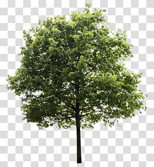 arbre vert, Quercus suber Tree, arbres png