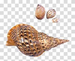 décor de coquillage marron, escargot de mer Seashell Beach, coquillages d'escargots de mer png