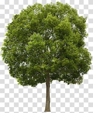 illustration d'arbre vert, composition Alpha arbre, boutique png