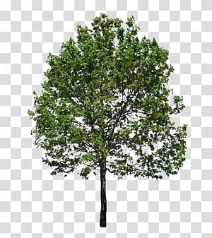 arbre à feuilles vertes, arbre, arbol png