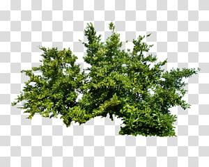 Arbuste Arbre, Bush, feuilles vertes illustration png