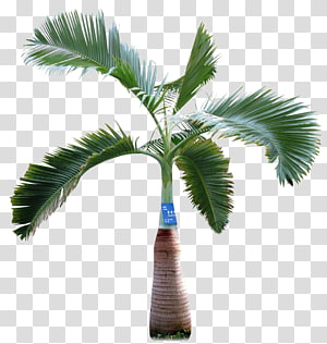 Palmier d'Asie palmier Arecaceae, palmier png