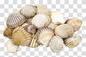 coquillage, Shore Seashell Cockle Clam, Un tas de coquillages png