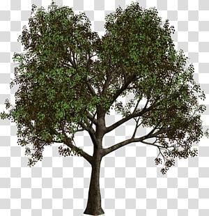 Arbre de la forêt, arbre de la forêt, illustration de l'arbre vert png