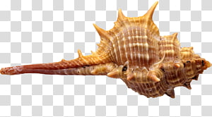 Illustration de coquillage brun, Conque de coquillage de fruits de mer Euclidienne, conque png