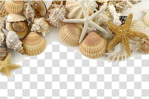 assortiment de coquillages, Seashell Pearl Shore Sand, coquillages décoratifs png