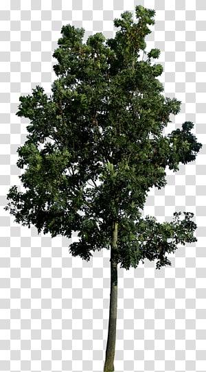 d'arbre à feuilles vertes, Populus nigra Tree Architecture de paysage Aménagement paysager, Meilleur arbre gratuit png