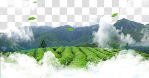 champs verts recouverts de nuages, thé vert feuille thé culture, thé vert png