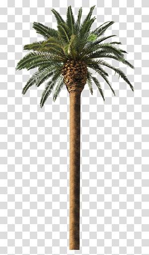 palmier sagou vert, palmier dattier Arecaceae fronde de cocotier, palmier png