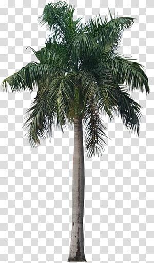 illustration d'arbre de noix de coco, Roystonea regia Arecaceae Tree, Palmier png