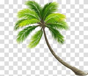 Arbre de feuilles de noix de coco Arecaceae, cocotier, arbre tropical png