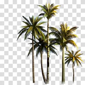 Cocotier Palmier de palmier asiatique Euclidien, cocotier, cocotier png