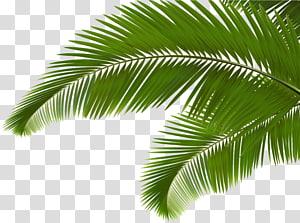 Branche de palme Arecaceae Fronde, feuilles de noix de coco vertes, feuilles de palmier vertes png