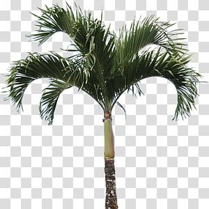 Palmier, Caryota mitis Arecaceae Tree Plant Washingtonia, véritable palmier de haute qualité png