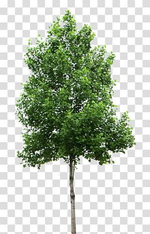 illustration d'arbuste vert, arbre bouleau, arbre s png