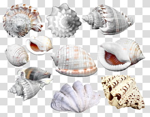 collection de coquillages, cadre Seashell Cdr, Collection de coquilles Saint-Jacques png