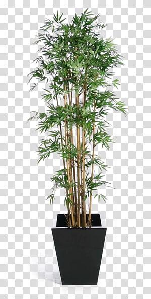 Banyan de la plante d'intérieur du figuier pleureur, boucle en pot de bambou vert, plante en pot png