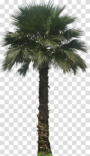 Palmier à feuilles vertes, Washingtonia robusta Washingtonia filifera Arecaceae Embryophyta Tree, Palm png